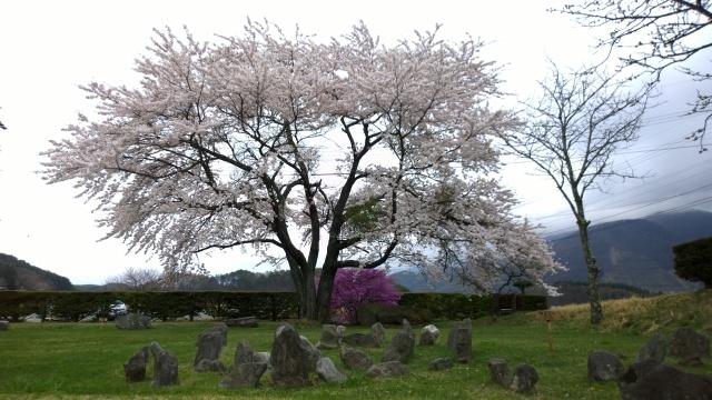 井戸尻考古館中庭と桜の木