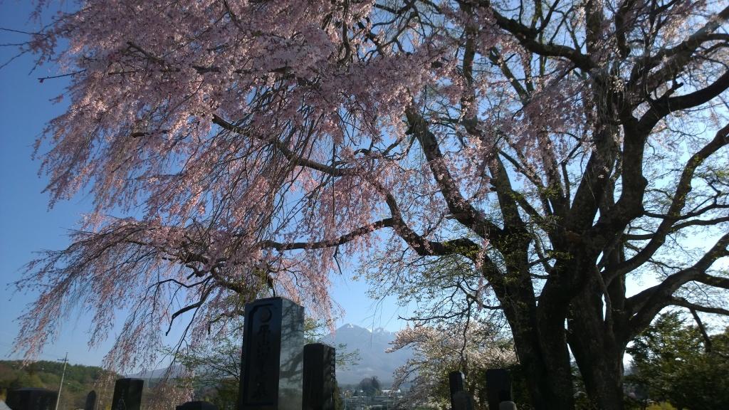 田端の枝垂れ桜140423_4