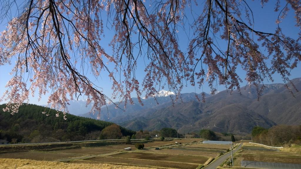 田端の枝垂れ桜140423_6
