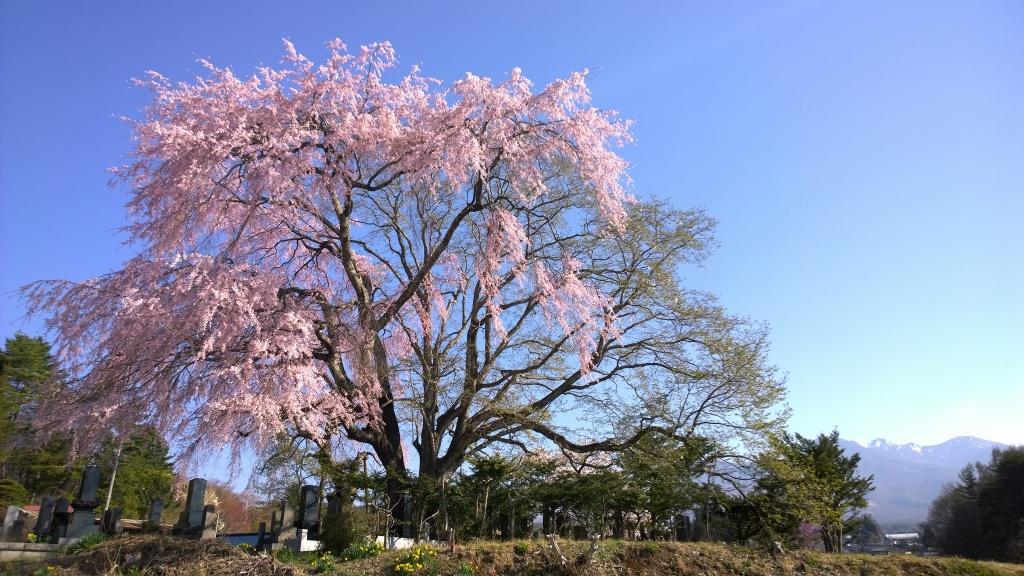 田端の枝垂れ桜140423_5