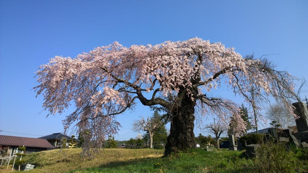 葛窪の枝垂れ桜140425_6