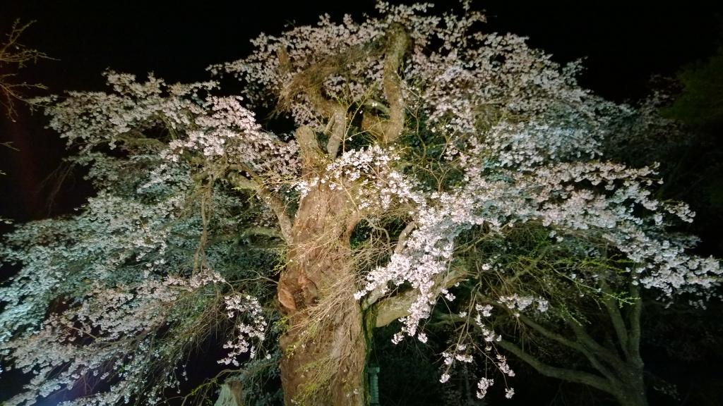 高森観音堂の夜桜20140426_3