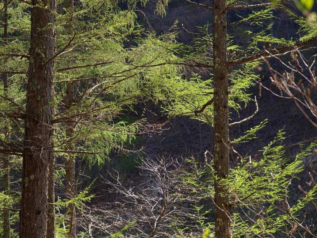 落葉松の新緑3