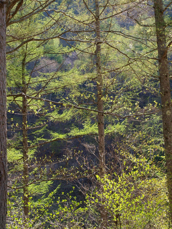 落葉松の新緑2