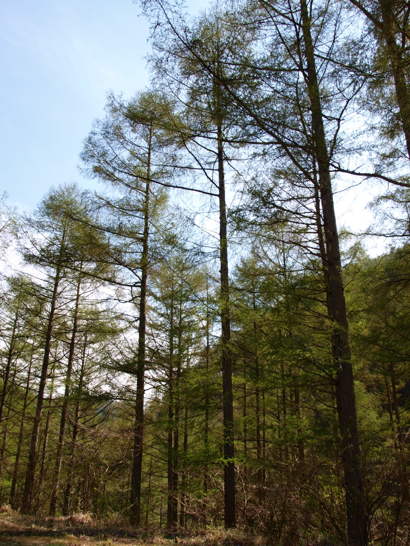 落葉松の新緑4