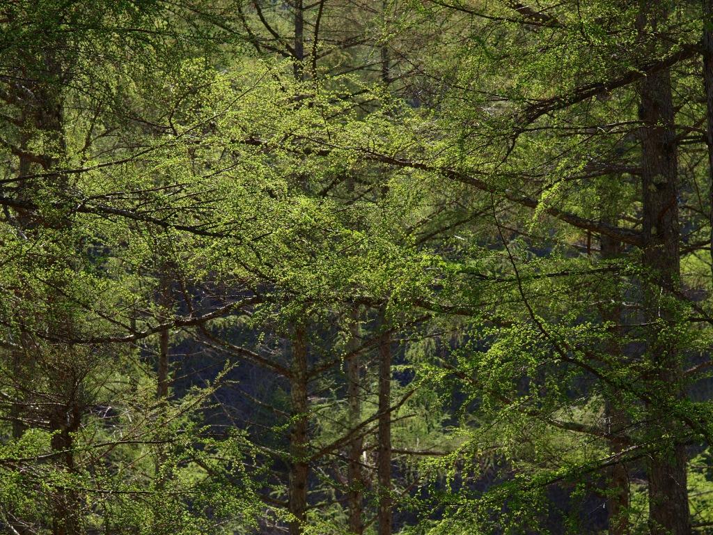 落葉松の新緑1