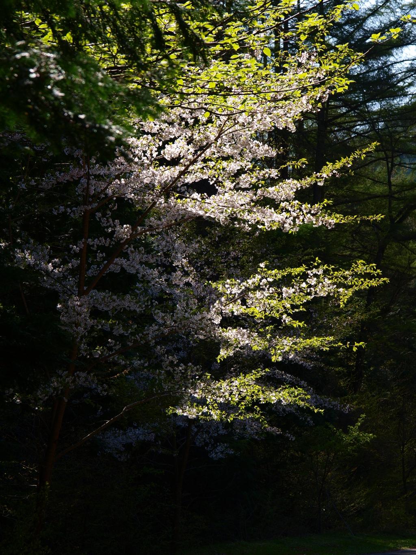 長岡新田日影入邑の桜