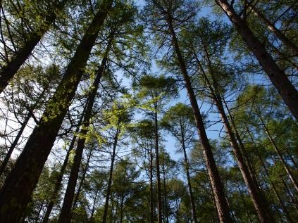 観音平の新緑の落葉松3