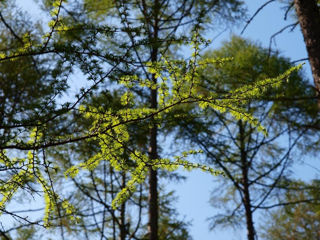 観音平の新緑の落葉松1