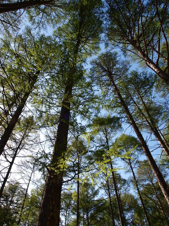 観音平の新緑の落葉松2