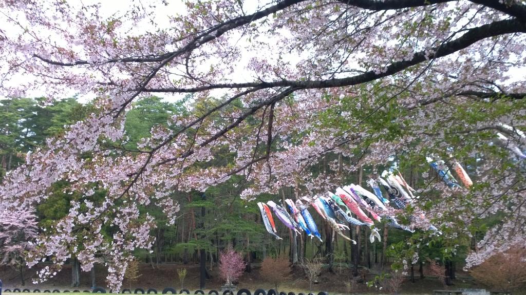 境小学校の桜と鯉のぼり