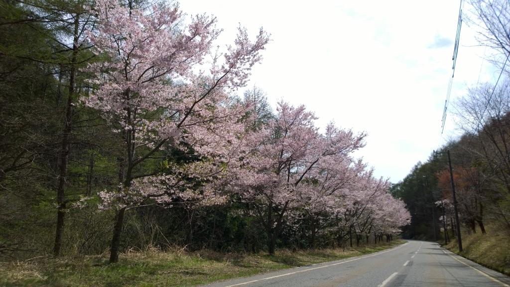 高遠少年自然の家前の桜並木