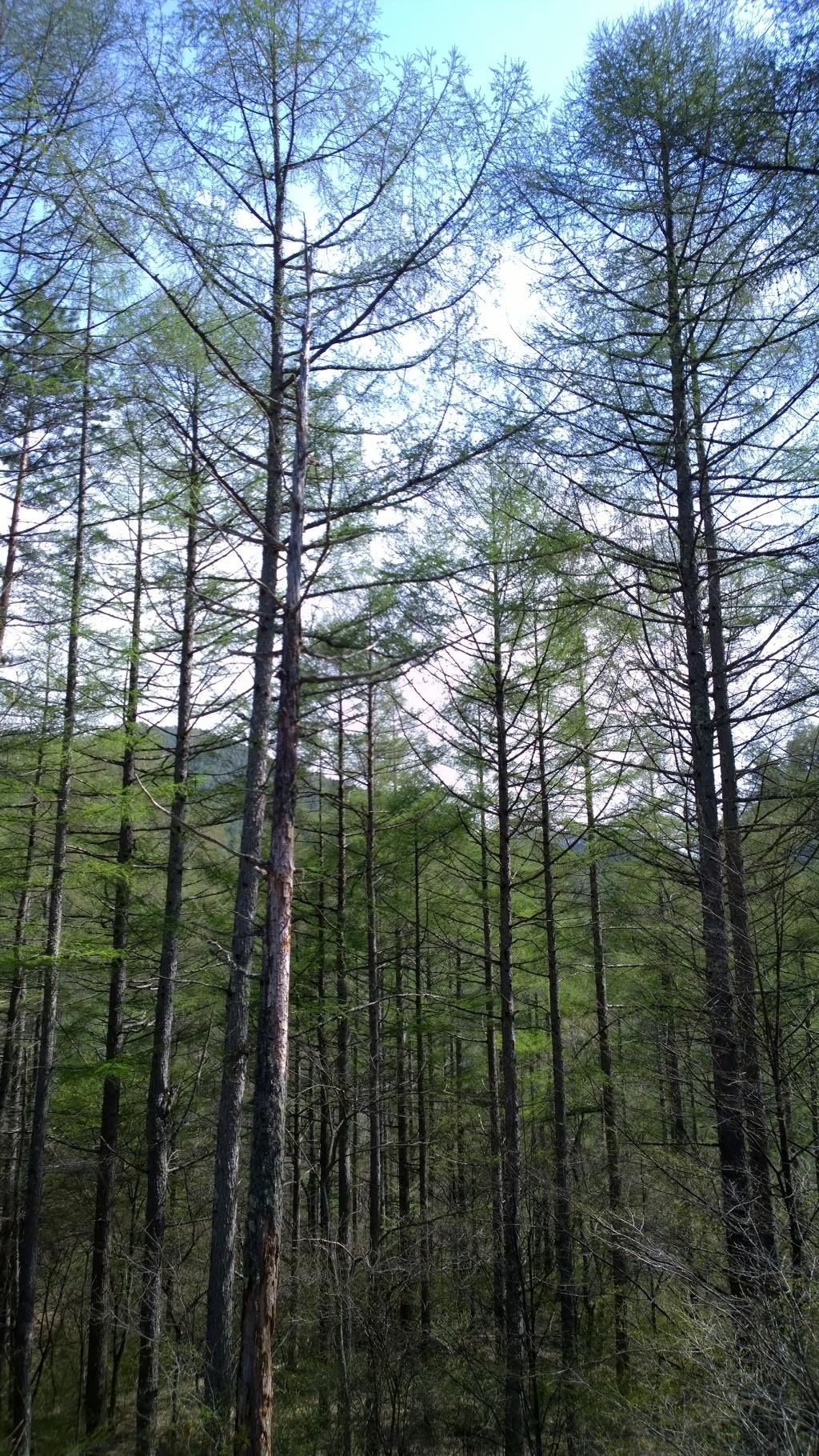 落葉松の新緑5