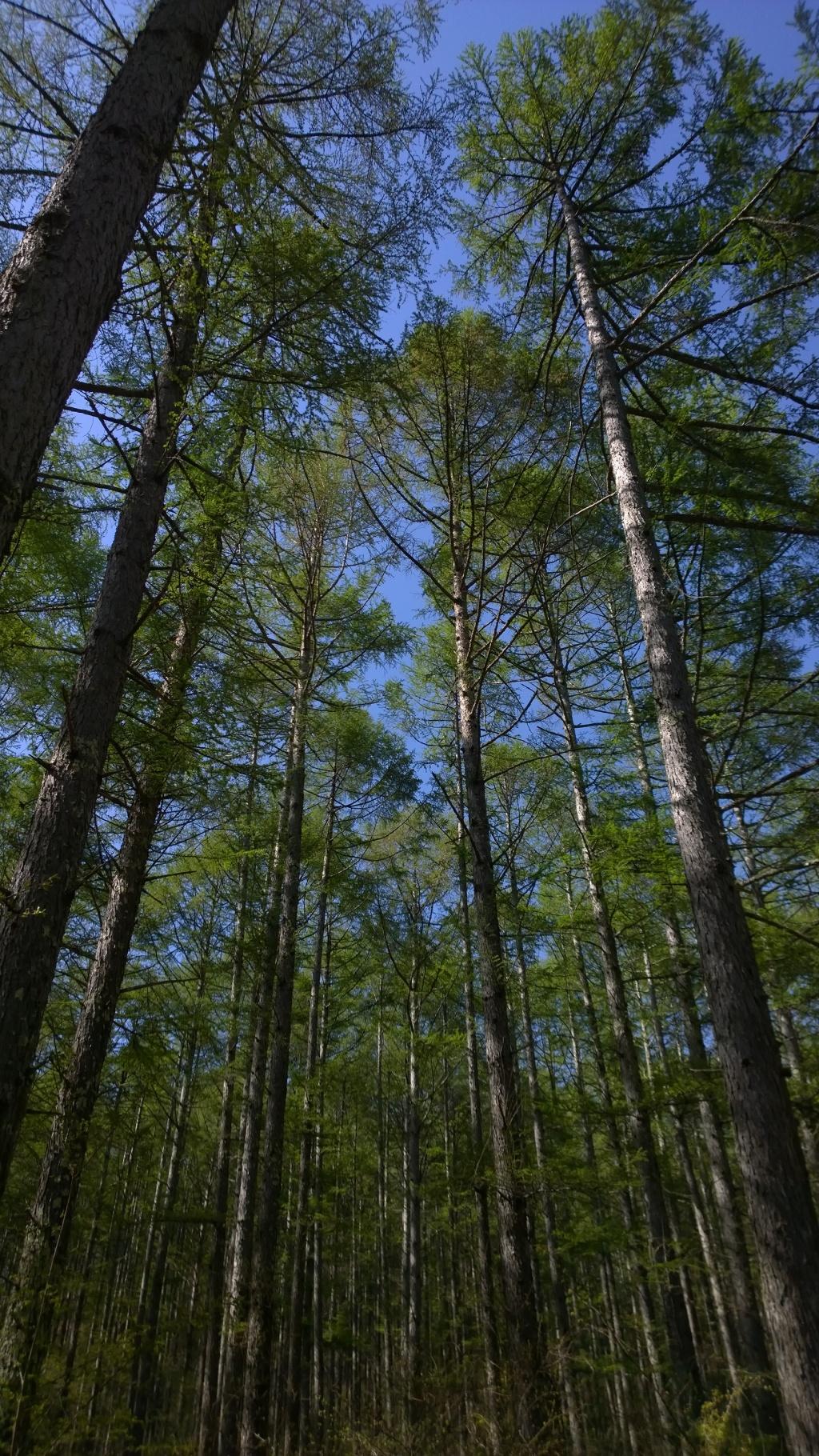 観音平の新緑の落葉松4