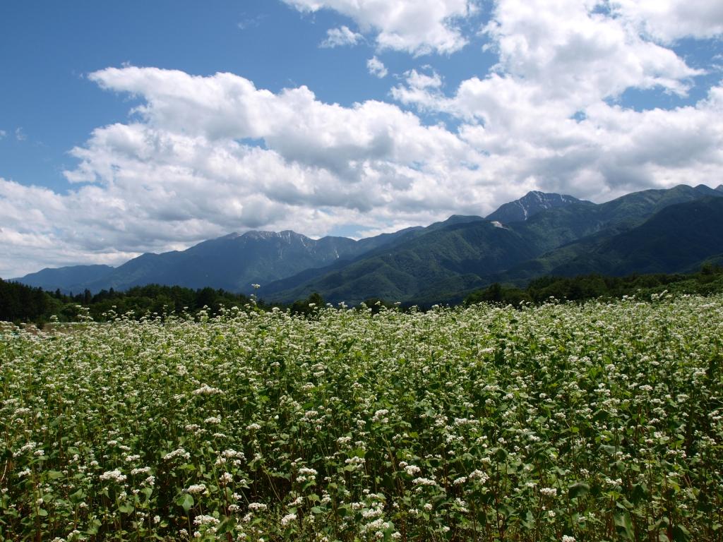 蕎麦の花と初夏の南アルプス