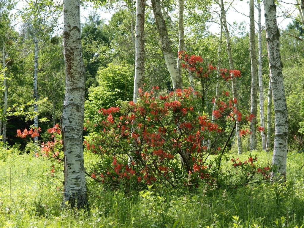 八ヶ岳自然文化園の白樺とレンゲツツジ