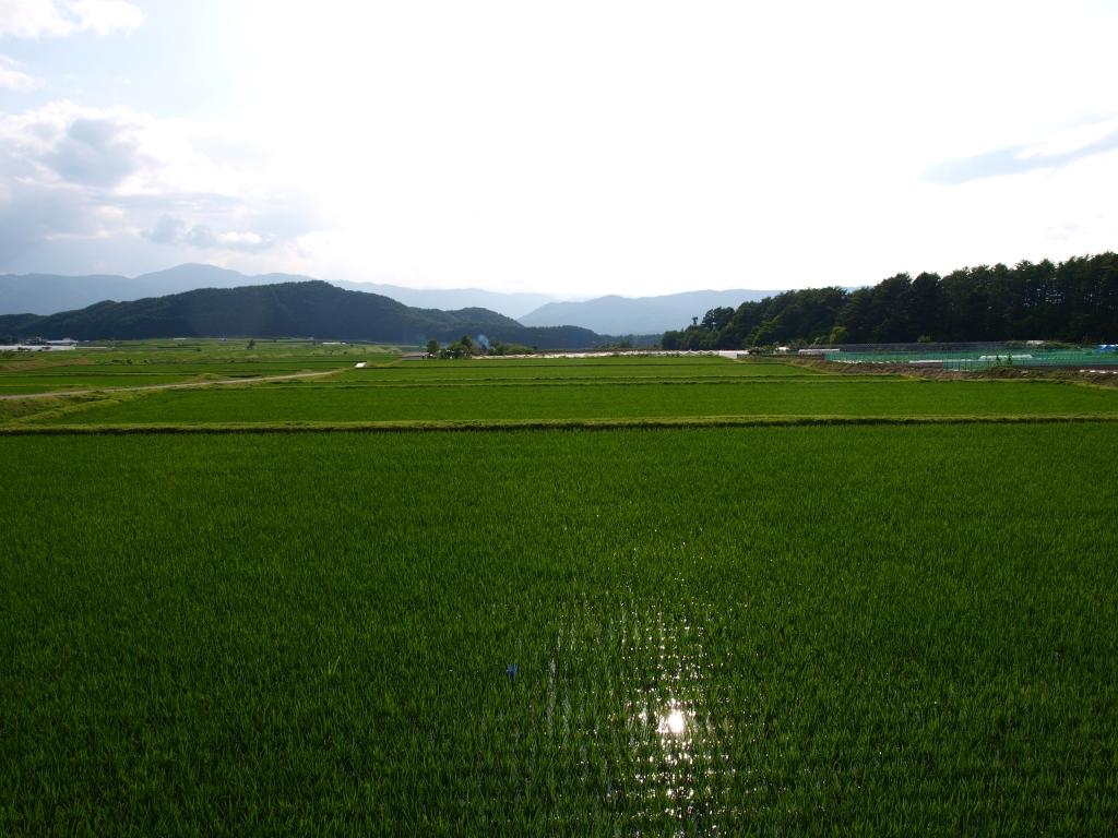 緑の水田越しに