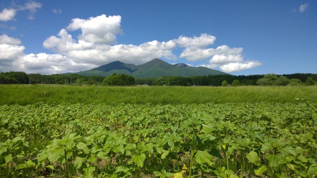 まだ若芽の向日葵畑越しに八ヶ岳