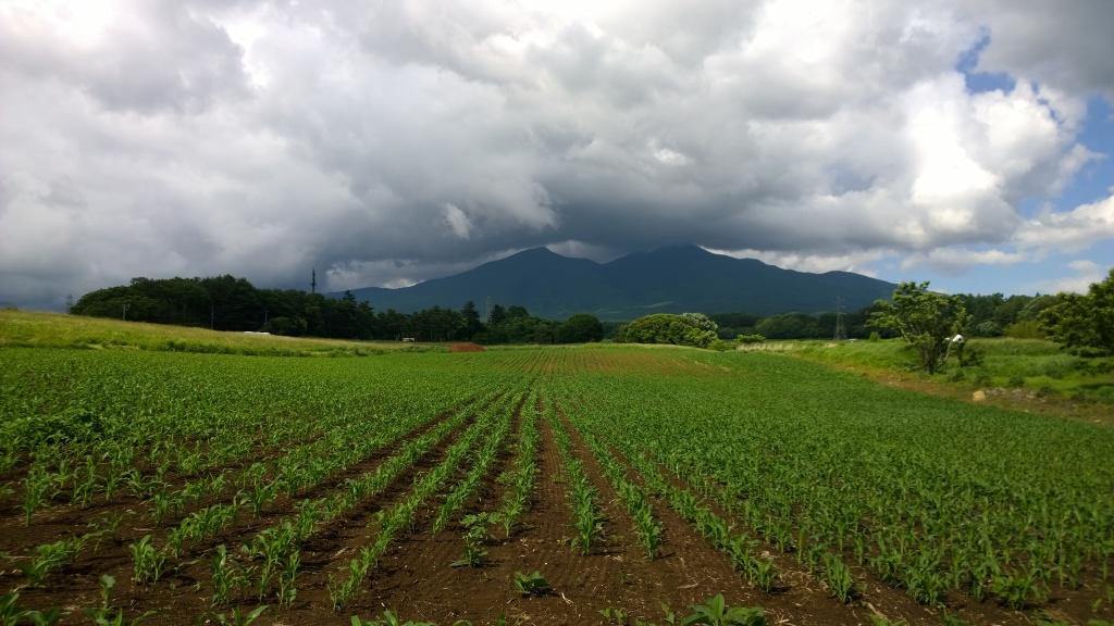 乙事のトウモロコシ畑