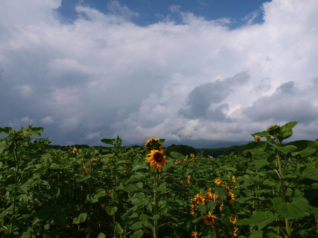 高森の向日葵畑20140720