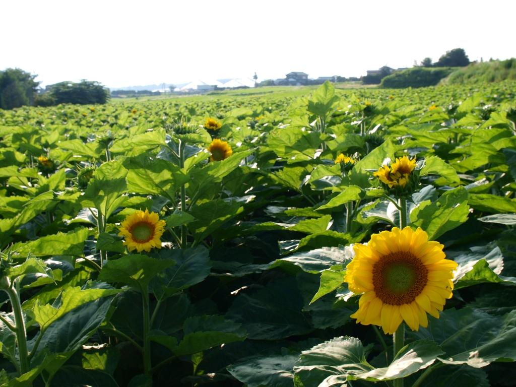 立沢の向日葵畑140721