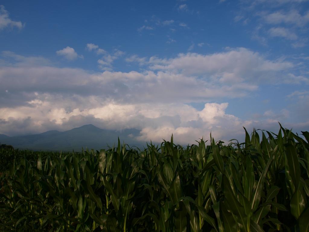 立沢のトウモロコシ畑140721