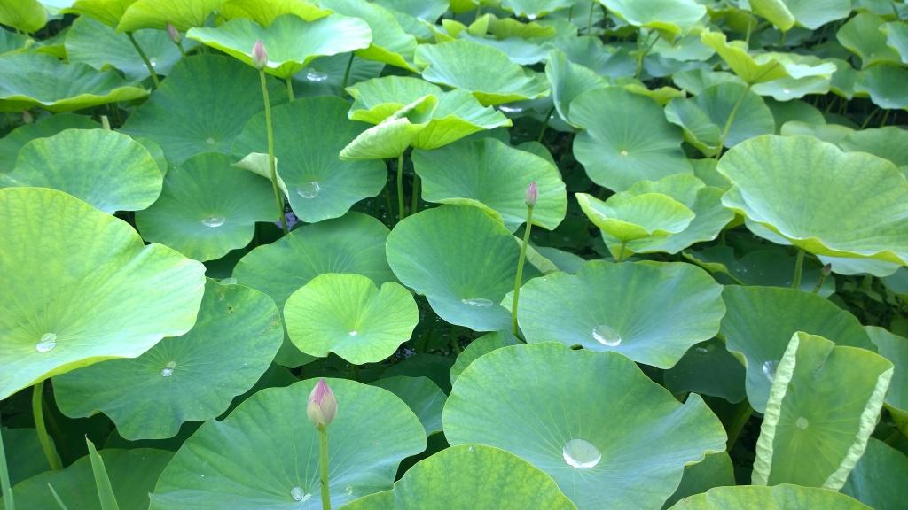 井戸尻遺跡の蓮の花たち1