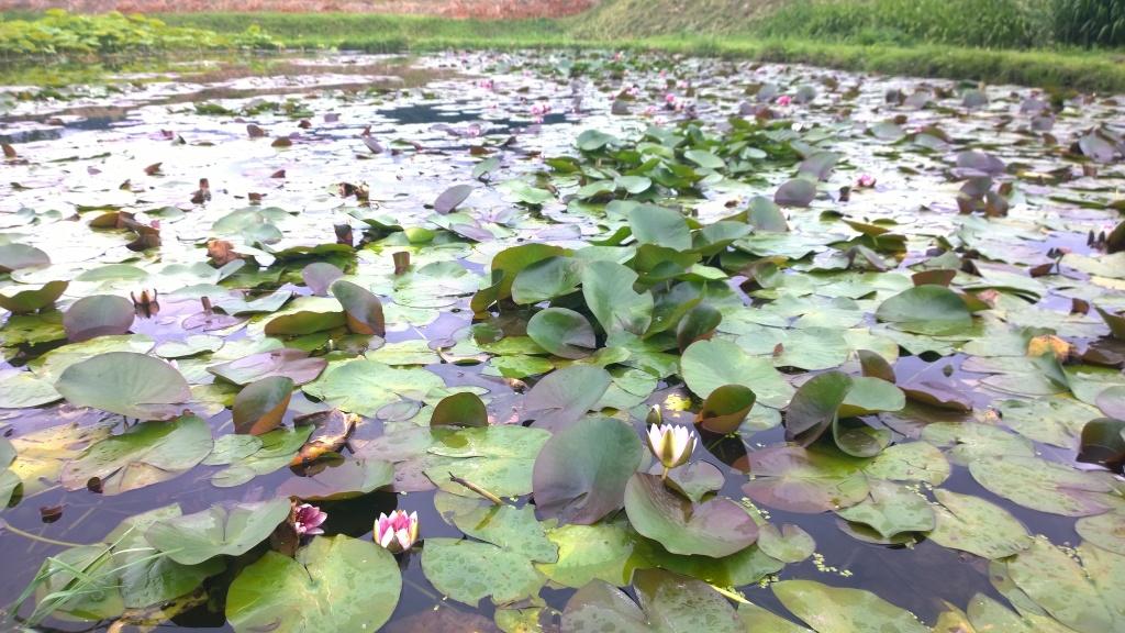 井戸尻遺跡の蓮の花たち2