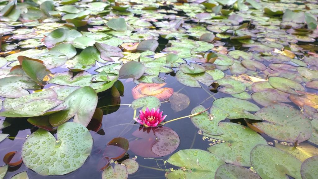 井戸尻遺跡の蓮の花たち3