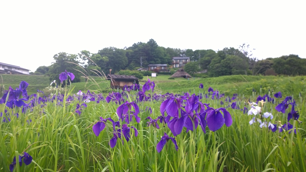 井戸尻遺跡の蓮の花たち4