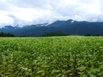 曇り空の蕎麦畑2