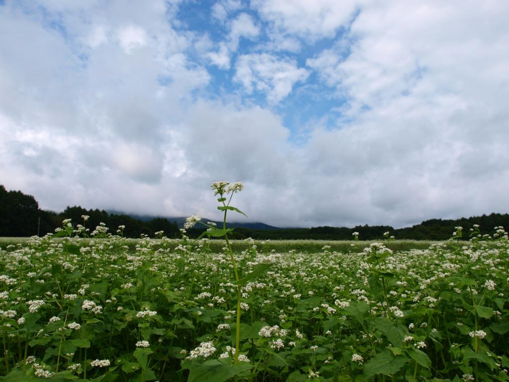 曇り空の蕎麦畑5