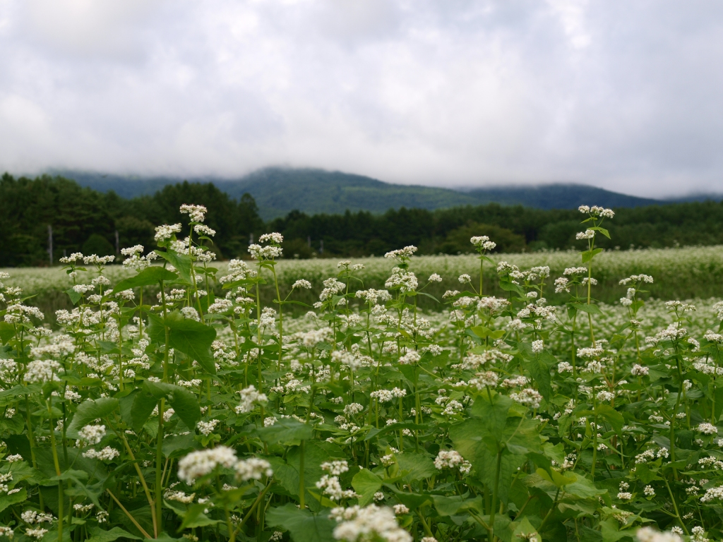 曇り空の蕎麦畑3