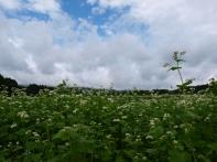曇り空の蕎麦畑6