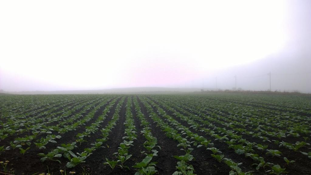 霧に霞むバラキ高原のキャベツ畑
