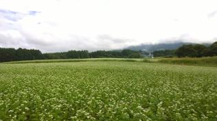 曇り空の蕎麦畑1