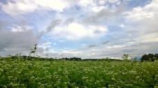 曇り空の蕎麦畑8