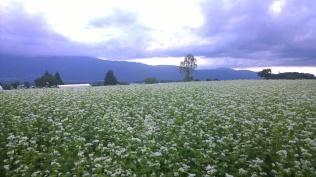 夕暮れの蕎麦畑
