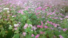 赤蕎麦の花