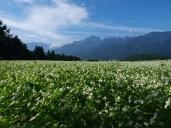 晴れた朝の蕎麦畑3