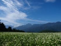 晴れた朝の蕎麦畑4