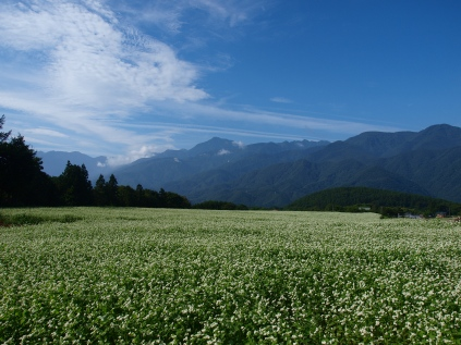 晴れた朝の蕎麦畑2