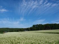 晴れた朝の蕎麦畑7