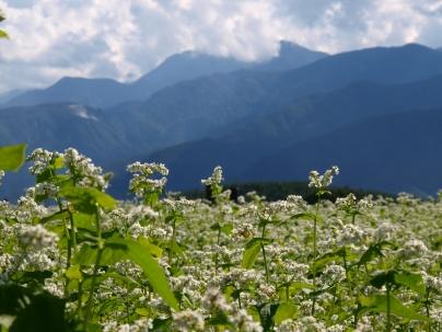 蕎麦の花と甲斐駒