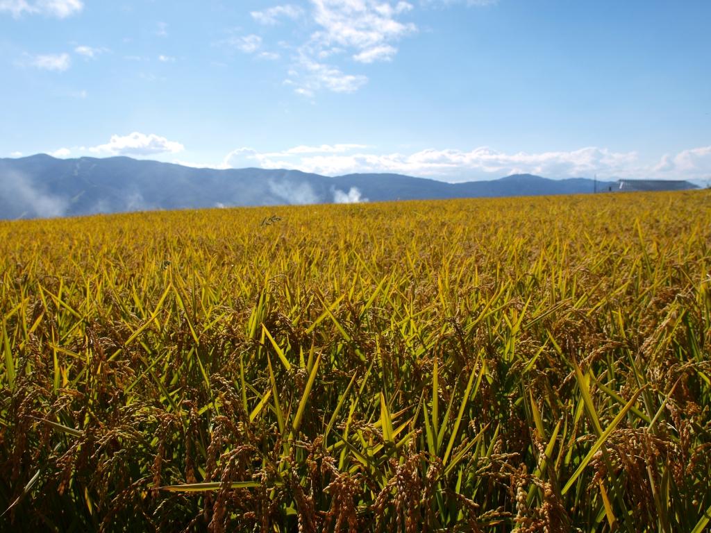 黄金色の稲穂の群れ