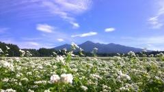 晴れた朝の蕎麦畑8