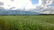 光芒と蕎麦畑2