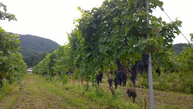 平出遺跡の葡萄畑2