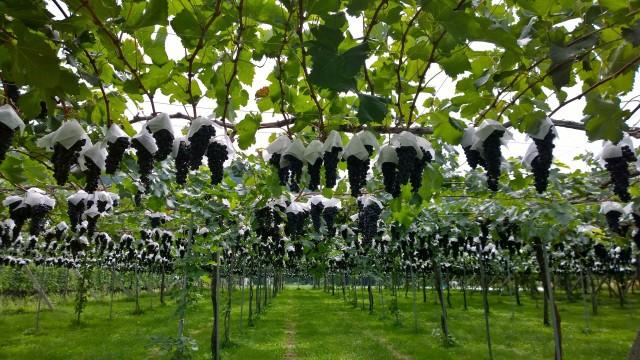 平出遺跡の葡萄畑4