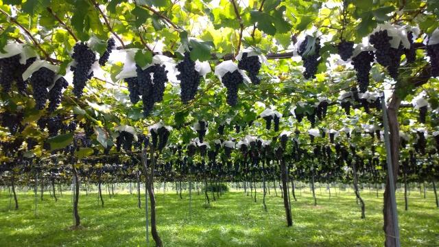 平出遺跡の葡萄畑5